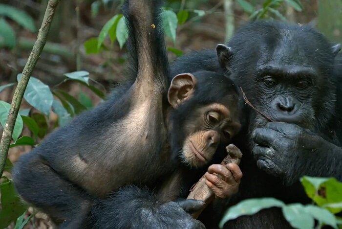 Jane Goodall MasterClass chimps